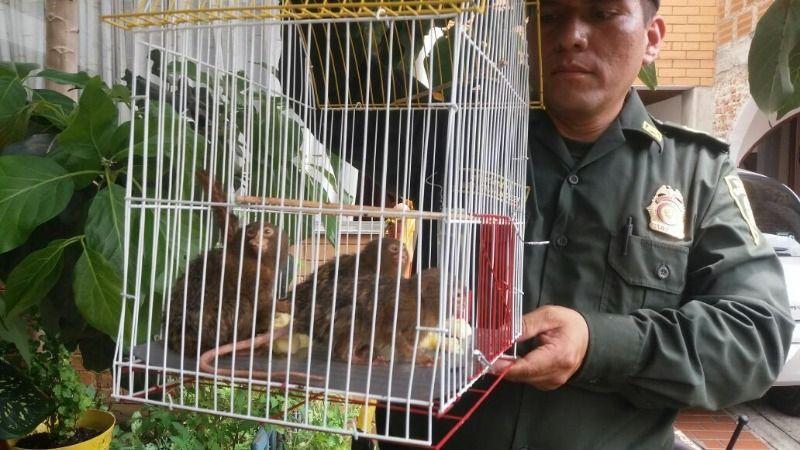 Rescatan a tres monos tití león en el barrio Meléndez