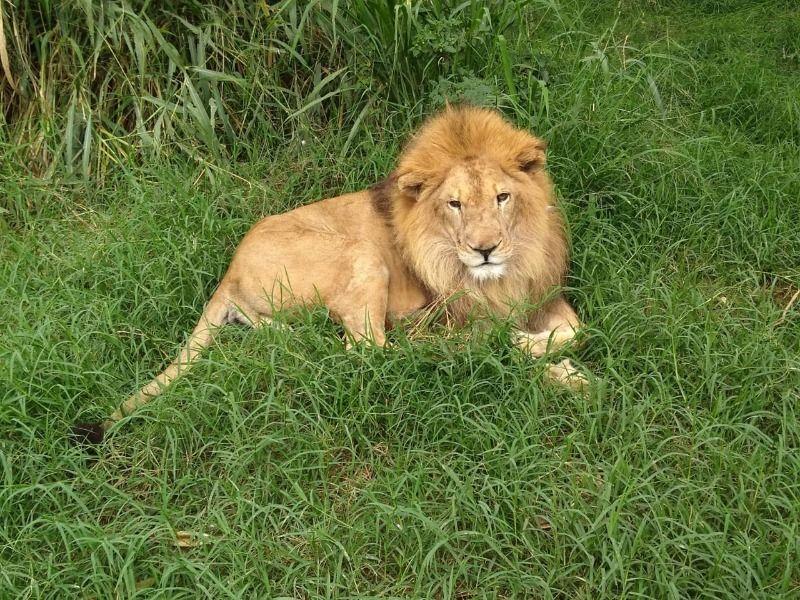 Murió Júpiter, el león más emblemático de Cali