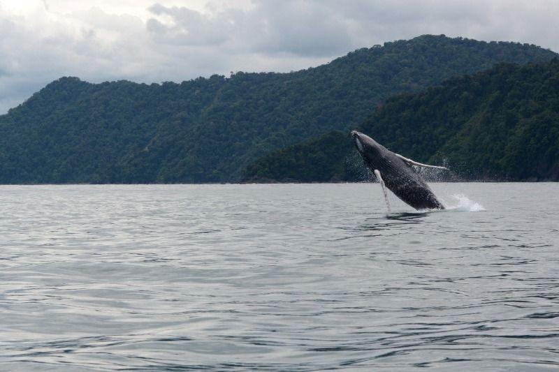 Aguas del Pacífico Colombiano acogen a ballenas jorobadas