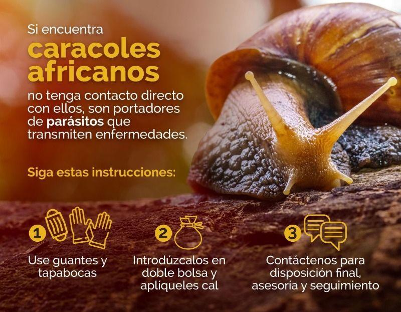 Se incrementa el caracol africano con la temporada lluviosa