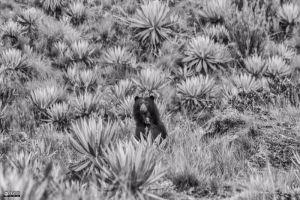 Parques Nacionales Naturales promueve proyecto para cuido y preservación del Oso Andino
