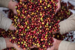Excombatientes de las Farc-Ep aportan a la siembra de árboles de café en el Cauca