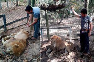 Coordinan regreso del león Júpiter por delicado estado de salud